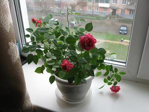 Розы в горшке на окне