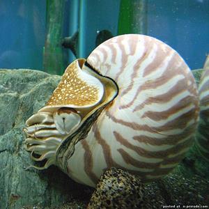 Моллюск в раковине
