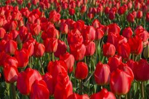 Красные тюльпаны