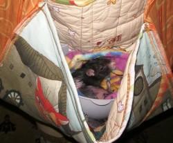 Крыса в сумке