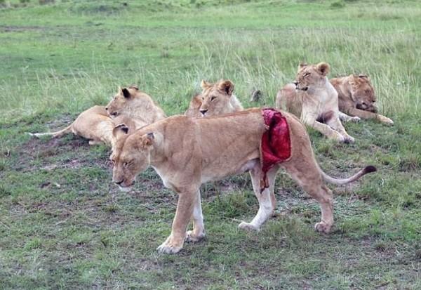 Раненая львица