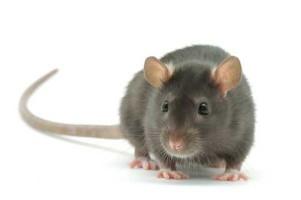 Крыса - миниатюра