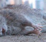 К чему нам снятся дохлые мыши — что скажет сонник