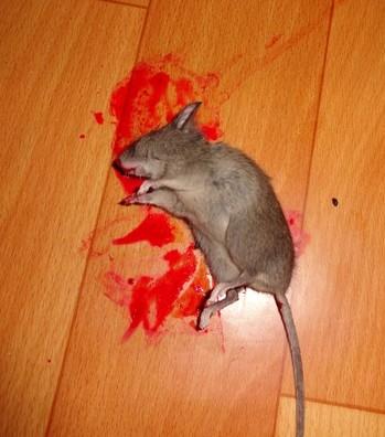 Убитая мышь в крови