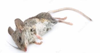 Дохлая мышь в ванной