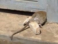 Мертвая мышь в доме