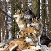 Группа волков