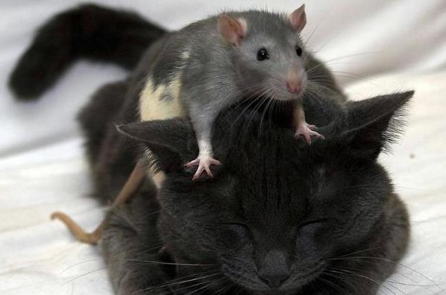 Крыса залезла на кота
