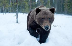 Преследующий медведь