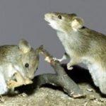 К чему по соннику снятся маленькие серые мышки