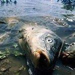 К чему по соннику снится мёртвая рыба
