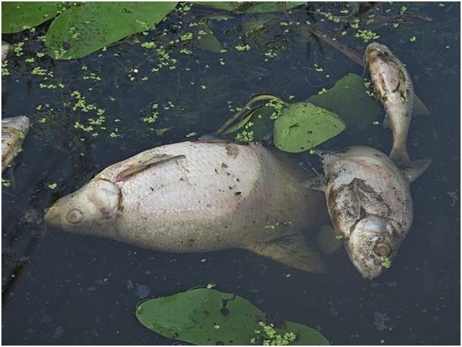Дохлые рыбы на поверхности воды