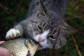 Кот ест рыбу из руки