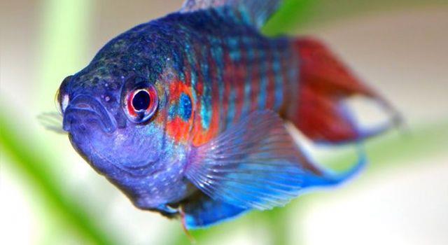 Пестрая рыбка в аквариуме