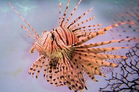 Ядовитая рыба с шипами