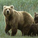 К чему по соннику приснилась медведица с медвежатами