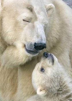 Белая медведица с ребенком