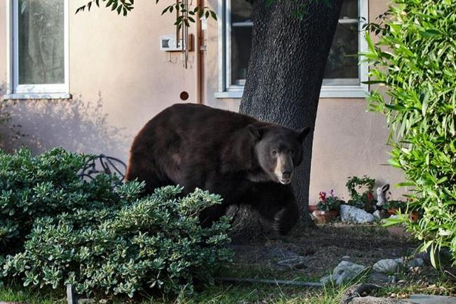 сонник нападение медведя