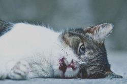 Мертвый кот в крови