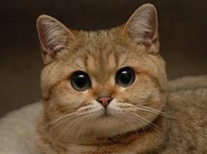 Кошачья голова