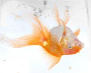 Мертвая рыбка в банке