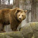 Может ли медведь сниться к замужеству?