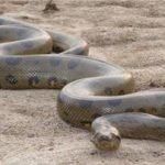 К чему по соннику снится большая змея