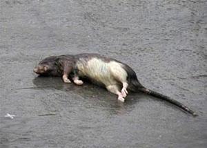Убил крысу на улице