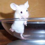 Толкование сна, к чему снится белая мышь