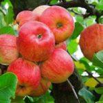 Толкование, к чему снятся яблоки на деревьях