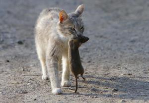 Кошка убила крысу