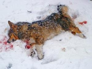 Мёртвая собака