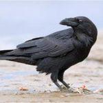 Как растолковать, к чему снится ворон