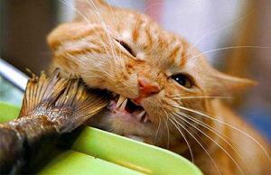 Кот украл рыбу