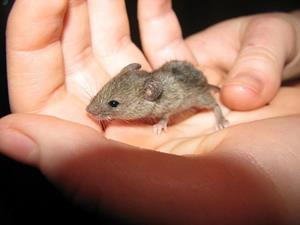 Держит живую мышь