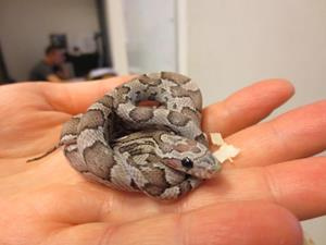 Змея клубком