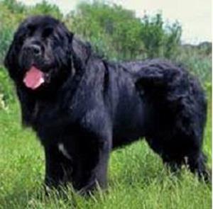Большая собака