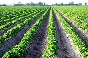 Плантация картофеля