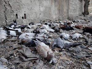 Мёртвые голуби