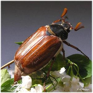 Майский жук