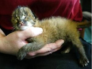 Новорожденный котёнок