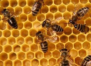 Труженники пчёлы