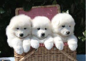 Породистые щенята