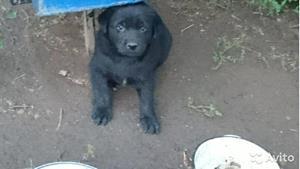Дворовой щенок