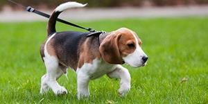 Собака на поводке