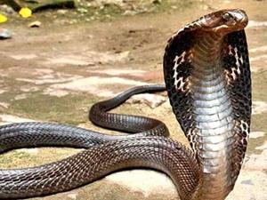 թունոտ օձ