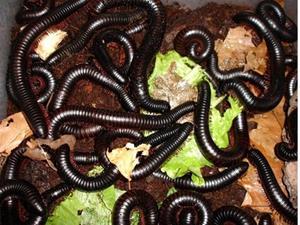 Черные черви