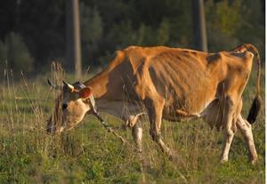 Больная и тощая корова