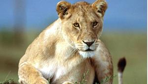 Снится львица