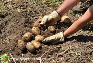 Хорошая картошка на земле